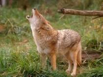 Coyote Talker