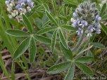 Timpsula Plant