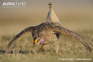 Sharptail Grouse of Pine Ridge Indian Reservation